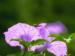 Ipomoea Nil Meets Beetle (@Jimweaver) Tags: flower leaf beetle bug taiwan taipei rain 汐止 牽牛花 甲蟲 紫 葉 雨 ruth