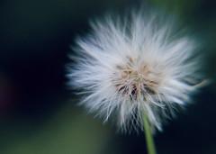 Project365-198 (michellebain1) Tags: closeup macro nature weeds prettyweeds outdoors flora green shallowdof shallow dof soft white fluffywhitedandelion fluffy dandelion flower