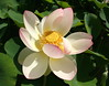 Indische Lotosblume - Indian Lotus (Wolfgang Bazer) Tags: lotos botanischer garten wien vienna österreich austria lotus indische lotosblume indian nelumbo nucifera