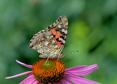Who's Painting these Ladies? (KsCattails) Tags: botanicalgarden butterfly coneflower echinacea flower insect kscattails macro missouri nature paintedlady powellgardens summer