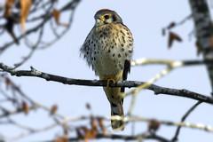 American Kestrel (shimmer5641) Tags: falcosparverius americankestrel crécerelledamérique falcon birdofprey birdsofbritishcolumbia birdsofnorthamerica raptor