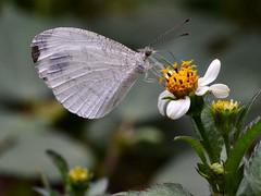 Psyche (Amber Habib) Tags: psyche leptosianina white pieridae pierinae butterflyindia india bangalore bengaluru nikond5100 tamronsp90 macro iisc indianinstituteofscience
