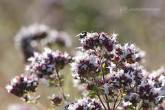 common fly (photos4dreams) Tags: gersprenz23072017p4d gersprenz münster hessen germany naturschutz nabu naturschutzgebiet photos4dreams p4d photos4dreamz nature river bach flus naherholung