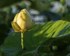 Solitary (jmhutnik) Tags: greenbottomwildlifemanagementarea westvirginia lesage water lilypad lotus yellow goldenhour summer july cabellcounty bokeh
