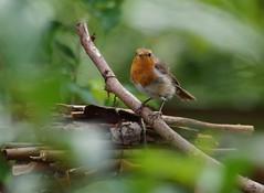 robin 23 jul (4) (Simon Dell Photography) Tags: robin simon dell photography garden bird close up pose detail red breast tree