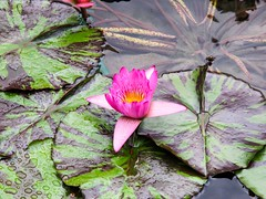 """""""Just like the lotus, we too have the ability to rise from the mud, bloom out of the darkness and radiate into the world.""""  #throwbackfebruary (ThisisMandyC) Tags: throwback lotus canonpowershotg11 hongkong diamondhill chilinnunnery"""