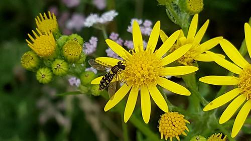 20170708_145841 Female Sphaerophoria Hoverfly, Cefn Ila