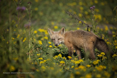 The Runt (namra38) Tags: armanwerthphotography redfox washingtonstate washington wildlife runt small flowers