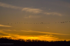 The sky is the limit. (lvphotos!) Tags: evening light sunset birds sky colors golden clouds fly nature flock flying swan winter