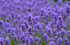 Bumble Bee (Alex Hannam) Tags: leicestershire leicester bee bumblebee lavender purple flowers insect