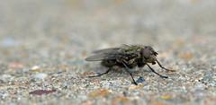 fur coat fly (conall..) Tags: fly windowsill fur coat macro raynox
