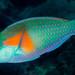 Bower's Parrotfish, terminal phase - Chlorurus bowersi