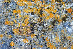 Delicious Lichen (jaxxon) Tags: 2017 d610 nikond610 jaxxon jacksoncarson nikon nikkor lens nikon50mmf28g nikkor50mmf28g 50mmf28 50mm niftyfiftyprime fixed pro abstract abstraction lichen wall weathered stone old stonewall