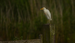 The Lone Ranger!! (hharry884) Tags: birds bird nature wildlife photography outdoors brown cattle egret somerset