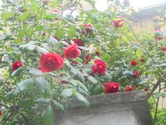 252 (en-ri) Tags: rose roselline rosso arbusto sony sonysti verde foglie leaves