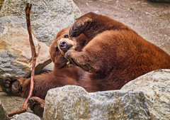 Black Bear (Rob Vigliotti) Tags: bearmountain blackbear bear unitedstates newyork zoosofnorthamerica