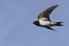 Hirondelle_A651524_DxO (jackez2010) Tags: ilce6500 sonyfe70200mmf4goss bif birdinflight hirondelle