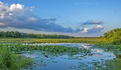 Green Bottom Wildlife Management Area (jmhutnik) Tags: goldenhour skyscape clouds reflection lotus trees summer july westvirginia lesage greenbottomwildlifemanagementarea