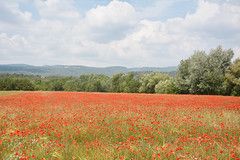Tappeto rosso - Red carpet. (sinetempore) Tags: papaveri poppies campodipapaveri poppyfield rosso red francia france altaprovenza highprovence tapperorosso redcarpet