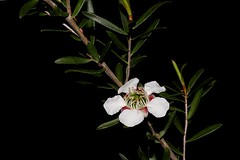 Leptospermum barneyense (andreas lambrianides) Tags: leptospermumbarneyense myrtaceae australiannativeplants wildflowers whiteflowers australiannativeflowers endangeredspecies