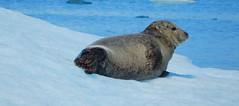 Zeehond/ Seal (Meino NL) Tags: jökulsárlóngletsjermeer iceland icelake ijsland ijsmeer ijsberg iceberg zeehond seal