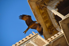 Raptor by the palace (Rick Elkins) Tags: citypalace udaipur raptor bird building architecture flying hunting wild palace royalty rajasthan india