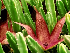 Stapelia (Skolnik Collection) Tags: stapelia succulent plant africa skolnik collection winter hardy propagation fitotron fytotron macro photo digital camera benq asclepiadaceae asclepiad selected flower detail nature close stapeliad nursery
