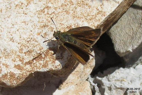 cf. Lulworth skipper, f. (Vol)