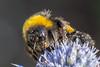 BuffTailedBumbleBee-0009.jpg (vorneo) Tags: bumblebee classinsecta kingdomanimalia bufftailedbumblebee orderhymenoptera wild familyapidae genusbombus phylumarthropoda insect speciesbterrestris subgenusbombus binomialnamebombusterrestris