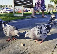 Pigeons (katarzynapawlikowska) Tags: pigeons bird birds eat oldtown beautiful animal nature goodday niceday pigeon