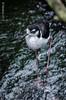Echasse (fabakira) Tags: fabakira fabakiraphotography fabakiraphotography2017 nikon d7000 nikkor nikkor200500 échasse oiseau bird zooparcdebeauval zooparc beauval zoo nature regard nikonphotographers nikonartists loiretcher