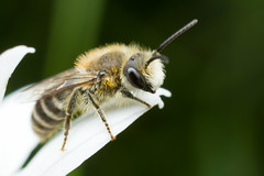 Bee on oxeye (AndreasCWSchmidt) Tags: animals nature insects bee oxeye leucanthemum vulgare apidae flowers macro