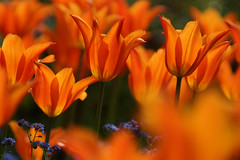 flowers (delopafoto) Tags: bokeh tulpen tulip nature flower blumen colour farbig natur delopafoto