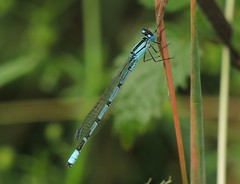 Common Blue Damselfly (Enallagma cyathigerum) Male (Rezamink) Tags: commonbluedamselfly enallagmacyathigerum dragonflies odonata uk
