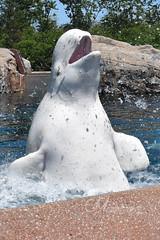 DSC_0873 (Megakillerwhales) Tags: megakillerwales marineland marinelandcanada marinelandontario marinelandfrance loroparque seaworld seaworldsandiego seaworldorlando seaworldsanantonio aquarium zoo sandiegozoo sandiego disney killerwhale killerwhales orca orcas orcawhale orcawhales beluga belugas belugawhale belugawhales dolphin dolphins whale whales animal animals zookeeper kiska tillikum lolita shamu shamushow shamurocks shamulightupthenight shamuscelebration nature world earth planet sea ocean life nationalgeaographic discoverychannel disneynature bbcearth bbcnature animalcloseups animalphotography wildlife wildlifephotography kshamenk water nikond3400 nikon photography show orcashow dolphinshow disneyland