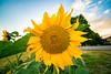 Sola i Karlstad (Jörgen Martinsson) Tags: sun flower solblomma sola karlstad klarälven sunset yellow river wide summer 1224 sigma