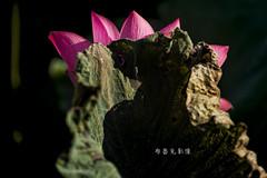 D66_9999 (brook1979) Tags: 台北市 植物園 荷 蓮 荷花 蓮花 葉 花 lotus flower