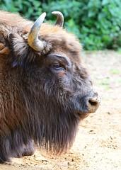 European Bison (gillybooze) Tags: ©allrightsreserved animal bison bovine horns outdoor dof trees bokeh