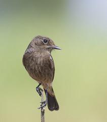 LOW_IMG_1344 (rkemkarartist) Tags: bushchat bokeh bird birds wildlife nature beautiful lovely