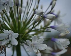 agapanthus 'Queen Mum' for Macro Mondays: queen (quietpurplehaze07) Tags: macromondays agapanthus queenmum blue white