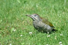 Juvenile Green Woodpecker (Picus viridis) (grubby1949) Tags: greenwoodpecker woodpecker green lawn foraging birdwatcher picusviridis
