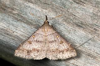 Speckled Renia Moth - Renia adspergillus