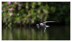 Common Tern Barrel Roll (Unintended_Keith) Tags: commontern barrelroll drying water spray bird nature wildlife birdinflight canon1dx sigma150600mms