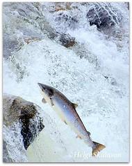 Upstream (Helgi Skulason photographer) Tags: helgiskulason helgiskulasongmailcom salmon iceland lax islandia elliðaár