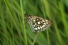 Heteropterus morpheus, le miroir. (chug14) Tags: unlimitedphotos animalia papillon butterfly arthropoda hexapoda insecta lepidoptera hesperiidae heteropterinae miroir heteropterusmorpheus