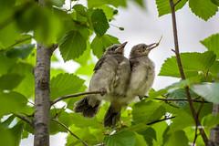 20170610-IMGP9095.jpg (Yunhyok Choi) Tags: feather beak tree nature brownearedbulbul wing nest summer bird wildlife fledgling animal hwaseongsi gyeonggido southkorea