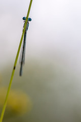 Behind Blue Eyes (Pieter ( PPoot )) Tags: libel ogen blauw dragonfly blue eyes