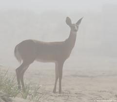 Foggy deer (v4vodka) Tags: animal wildlife deer whitetaileddeer jelen jelonek whitetail odocoileusvirginianus virginiadeer jelenwirginijski ungulate longislandnewyork mulakbiałoogonowy