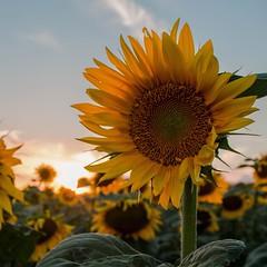 🌻☀️🌻☀️🌻☀️ (Rebeka Tiegelmann) Tags: sounflowerfield hungary sunset landscape nature sunflower