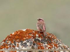 Red-Mantled Rosefinch (Carpodacus rhodochlamys) (gilgit2) Tags: avifauna birds brumther canon canoneos7dmarkii category fauna feathers geotagged gilgitbaltistan gojal imranshah location pakistan redmantledrosefinchcarpodacusrhodochlamys species tags tamron tamronsp150600mmf563divcusd wildlife wings gilgit2 carpodacusrhodochlamys birds11